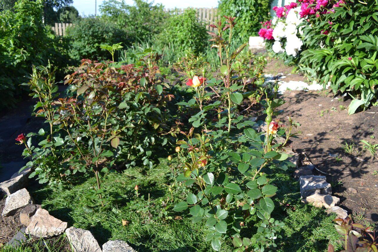 Клумба из роз своими руками - фото оформления розария на даче 33