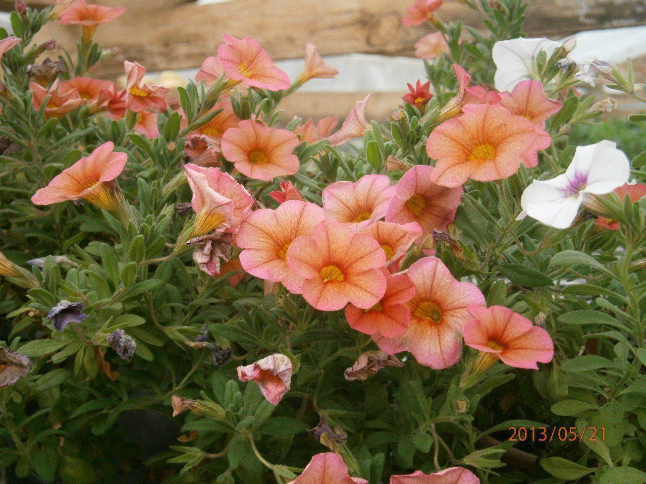 Калибрахоа выращивание черенками фото 89