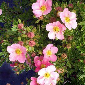 potentilla fruticosa pink beauty 2